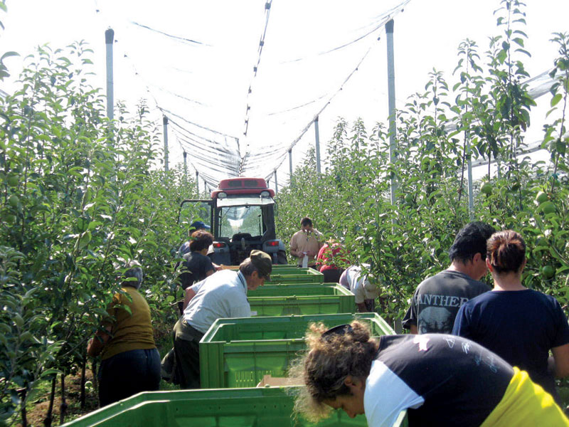 Сбор яблок в Сербии